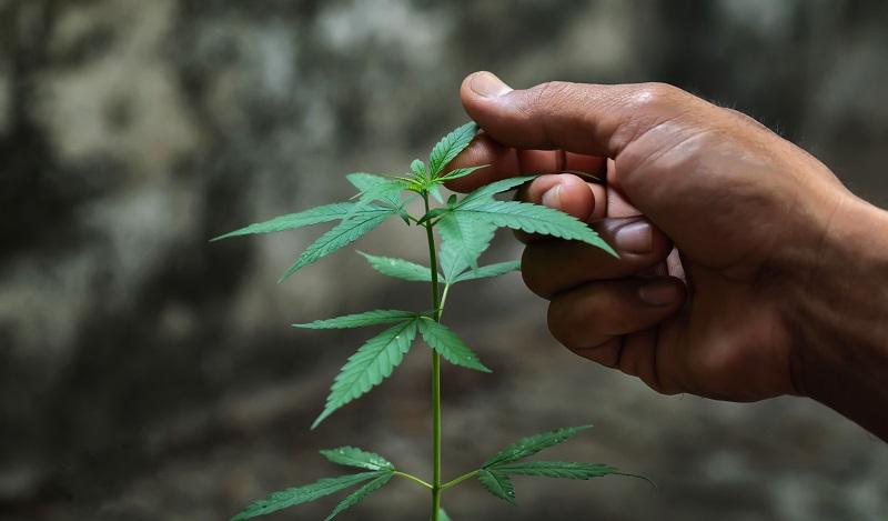 ¿Tener un trabajo relacionado con la marihuana puede afectar el estatus migratorio?